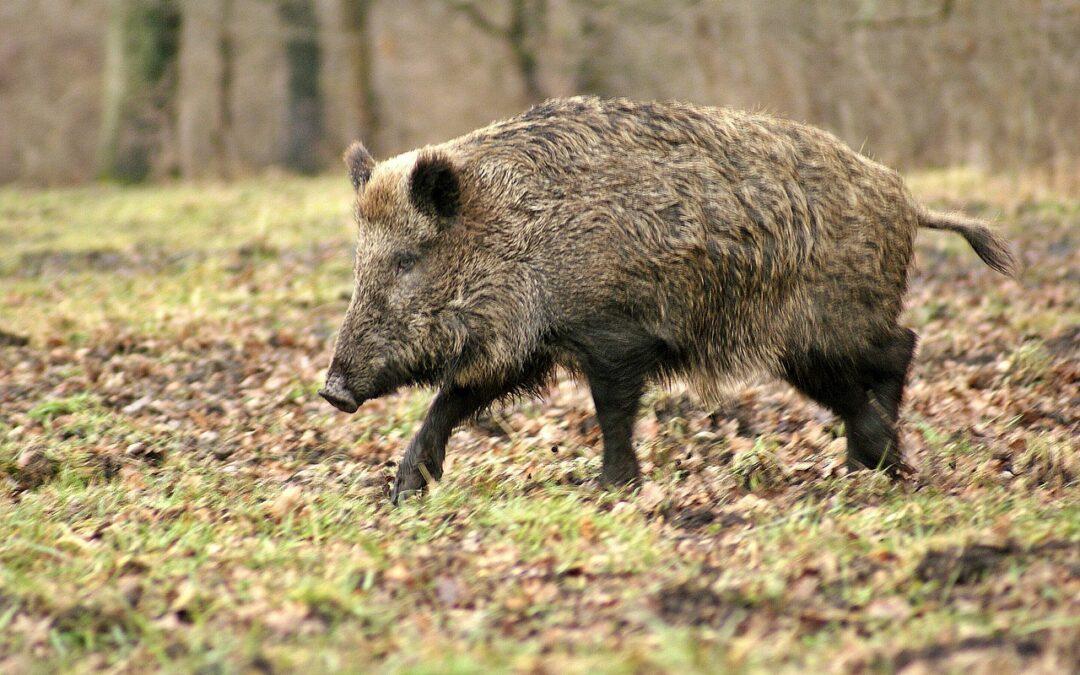 Lockstoffe für Wildschweine